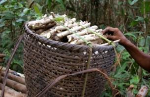 São Gabriel da Cachoeira (AM) terá ações para salvaguarda dos saberes agrícolas do Rio Negro
