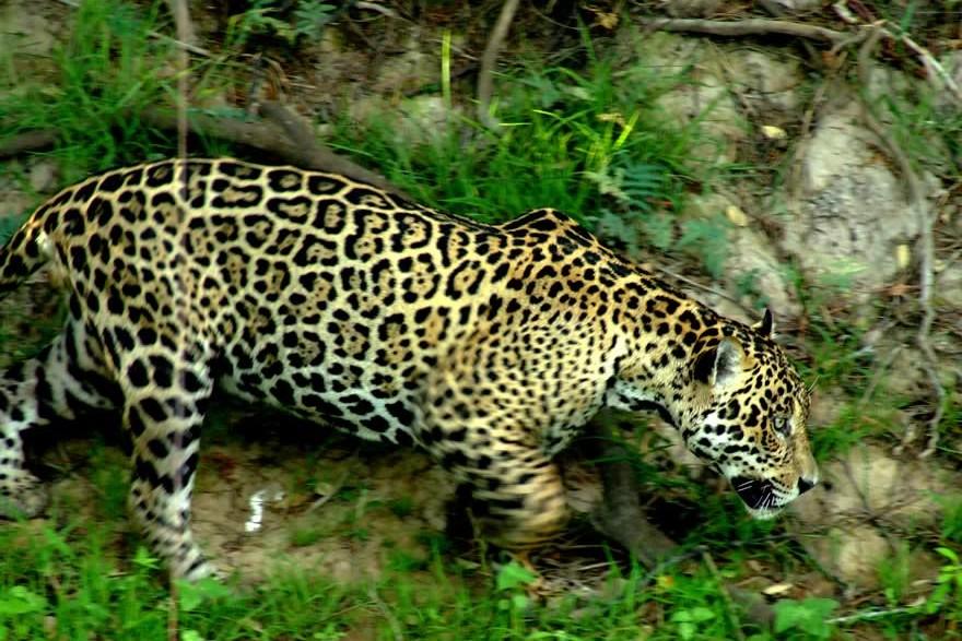 REG_Pantanal_Onca_Pintanda