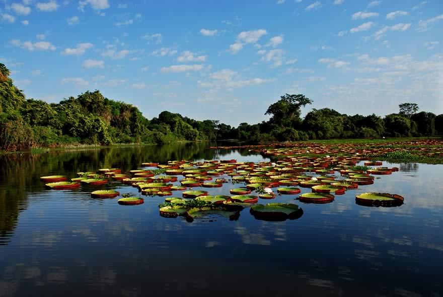 REG_Pantanal_vitoria_regia